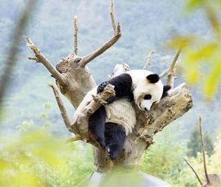 四川卧龙神树坪基地大熊猫的安逸生活