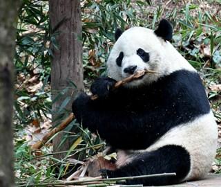 """旅美大熊猫""""贝贝""""回家"""