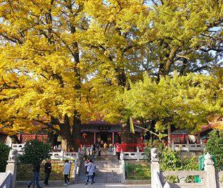 2800余岁银杏古树