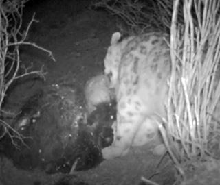阿尼玛卿地区拍到雪豹分食画面