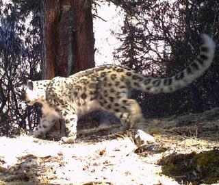 西藏藏东今年捕捉到56次雪豹活动影像