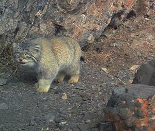 红外相机捕捉到野生兔狲活动影像