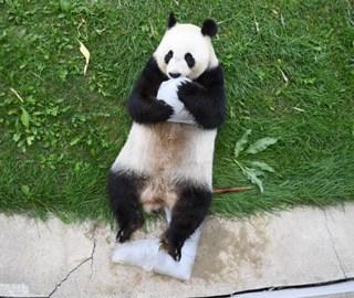 大熊猫开启避暑度假模式 怀抱冰块萌萌哒