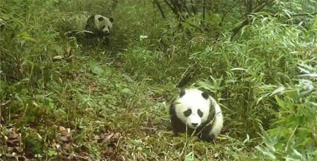 """四川蜂桶寨:野生大熊猫母子再次""""同框出镜"""""""