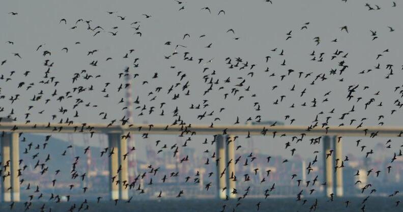 成群鸻鹬类候鸟迁回场面壮观