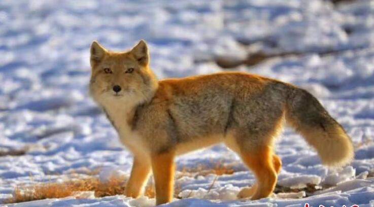 冬日野生动物频现祁连山:狐狸呆萌 猎隼翱翔
