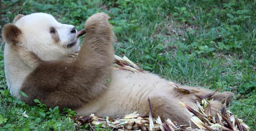 """棕色大熊猫""""七仔""""的幸福生活"""