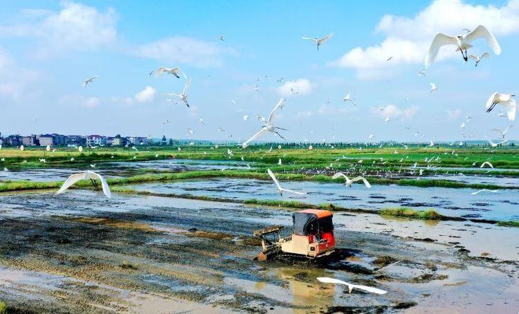 江西吉水乡村鹭鸟纷飞伴农耕