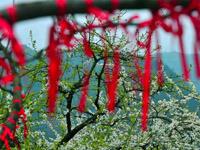 春风又渡羌寨 桃花枝头俏系羌红