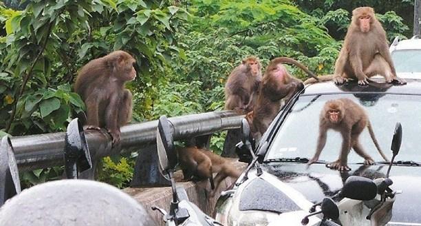 台湾阳明山猴子增多占道逼车让路 恐衍生后遗症