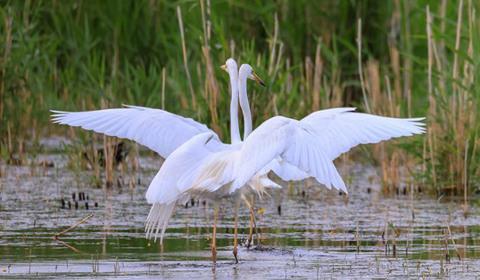 """6月16日,在新疆博湖县境内的博斯腾湖畔,几只白鹭""""相约起舞"""",婀娜的身姿与碧绿的芦苇荡相映成趣,构成一幅生态画卷。"""