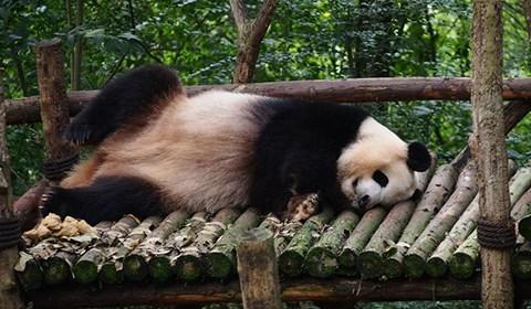 10月16日,四川成都大熊猫繁育研究基地。这里有大大小小一百多只熊猫,这些可爱的家伙们一大半时间在睡觉,偶尔醒过来就忙着吃。