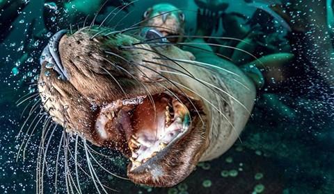 35岁的英国摄影师Steve Woods在潜水拍摄时被大群海狮围观。