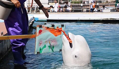 当地时间2018年9月9日,日本横滨,八景岛海洋乐园水族馆举办白鲸艺术活动,一头白鲸叼着画笔作画有模有样。