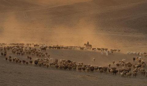 10月14日,新疆福海县哈萨克族牧民赶着牲畜翻山越河、穿越戈壁,从夏季牧场迁往秋季牧场。