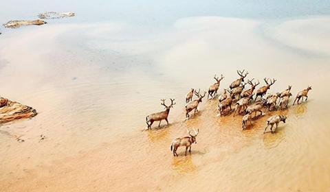 2018年4月3日消息,南昌,47头麋鹿被野放至江西鄱阳湖湿地区域,这是在我国最大淡水湖鄱阳湖第一次野外放生麋鹿。