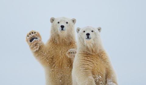 两只可爱的北极熊宝宝并排站立