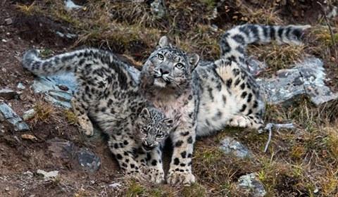 """1月16日,山水自然保护中心对外发布一组由法国籍摄影师在青海省玉树藏族自治州杂多县昂赛大峡谷内拍摄到的小雪豹""""写真""""照。"""