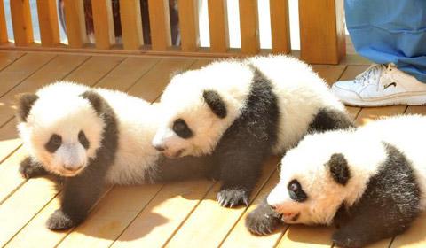 9月21日,三只雄性熊猫宝宝过百天,一只雌性熊猫宝宝过满月。三只熊猫宝宝面向社会各界征(冠)名认养。