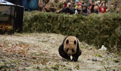 """11月23日,四川雅安,大熊猫""""八喜""""""""映雪"""",在栗子坪自然保护区,被顺利放归大自然。"""
