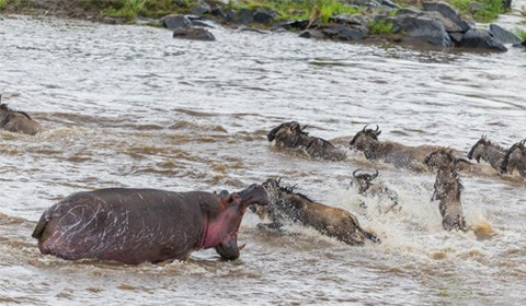 肯尼亚马赛马拉,当一群角马试图穿过马拉河进行大迁徙时,一头河马靠近并准备攻击角马。