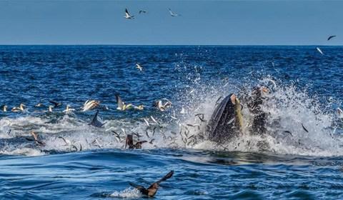 在南非伊丽莎白港阿尔哥亚湾,摄影师在沙丁鱼迁徙途中首次捕捉到海豚的新捕猎技巧。