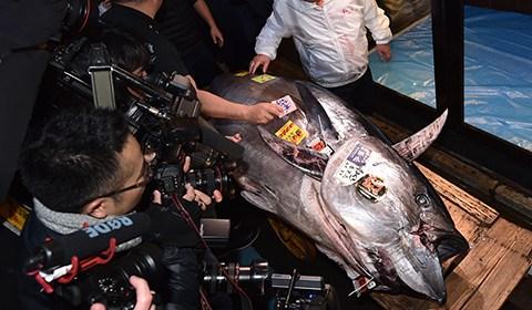 当地时间1月5日,日本东京丰洲市场进行新春第一场金枪鱼竞标活动,一尾来自青森大间港捕捞上岸的蓝鳍金枪鱼以1.932亿日元价格成交。