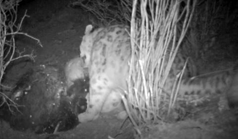 """5月1日,青海环保组织原上草自然保护中心对外发布一组红外相机在藏区""""神山""""阿尼玛卿地区首次记录到雪豹分食的画面。"""