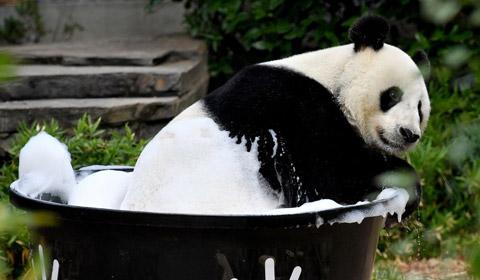 """当地时间2019年2月17日,澳大利亚阿德莱德动物园里的旅澳大熊猫""""网网""""正在沐浴洗澡。"""