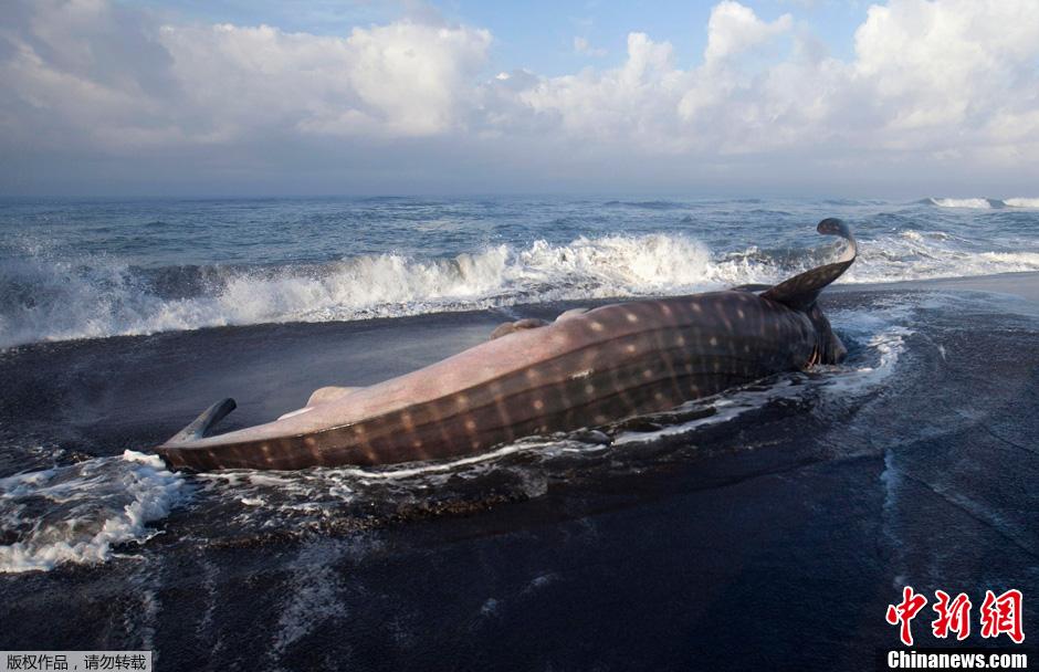 摄影师水下拍摄巨型翻车鱼 形似外星生物 中新