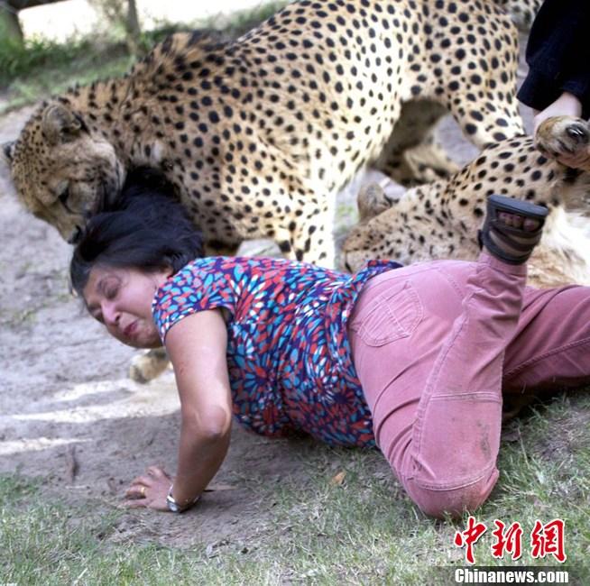 英动物园诞七只非洲猎豹 小家伙和妈妈形影不
