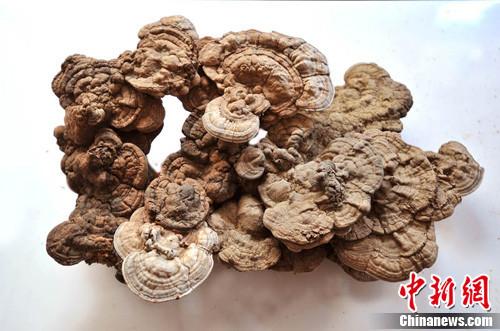 河北曲阳大茂山发现一株重20斤特大野生灵芝(图) - 高山松 - gaoshansong.good 的博客
