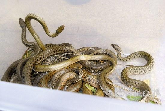 专家在大学城捕获的蛇,足足装满一塑料箱