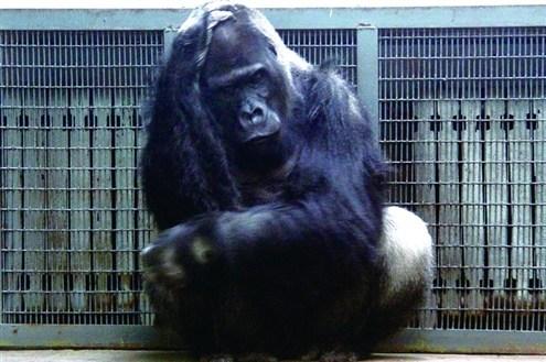 动物园内悠闲过冬 河马泡温泉大象睡热炕(图)