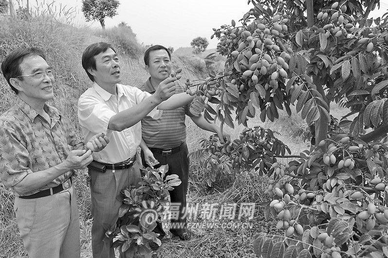 看着满目被累累青果压弯枝头的橄榄树,刘昌发感慨地说:橄榄不好种,先前这片橄榄园有70%的橄榄树不结果或少结果,少的一棵橄榄树一年结果不足5公斤,我好几次都想放弃橄榄,改种别的果树,多亏市高级科技老专家协会指导我科学栽培,这才有了今天的成果。   刘昌发说的科学栽培法,全名叫橄榄高接换种矮化栽培技术。该项目技术对结果少和不结果的橄榄树采用高位嫁接,以鲜食品种(甜榄、檀香)和加工品种(惠园、自来园)优良母树的接穗进行多头高接,并进行科学整体修剪,达到树冠矮化、产量提升、品质提高的目的。负责指导果园科