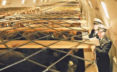 据哈尔滨海关隶属的太平机场海关副关长纪新华介绍,此次进口澳洲和