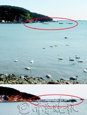 截至11月10日,荣成市俚岛镇烟墩角和成山镇天鹅湖已有200余只大天鹅