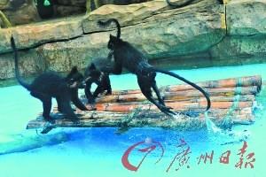 """深圳野生动物园赠动物新""""玩具"""" 猴子水中玩竹排"""