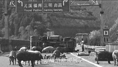 运猪货车翻车 40多头猪跑到高速公路上乱窜