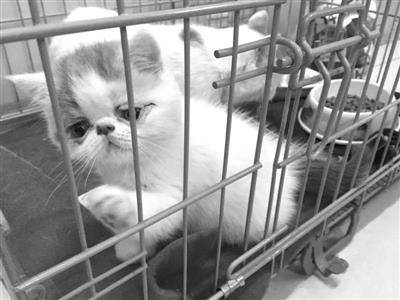 小偷盗走2万多元加菲猫母女 因太萌舍不得销赃