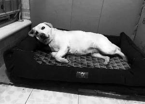 网传警犬惨遭贩卖纯属谣言警方:在原基地养老