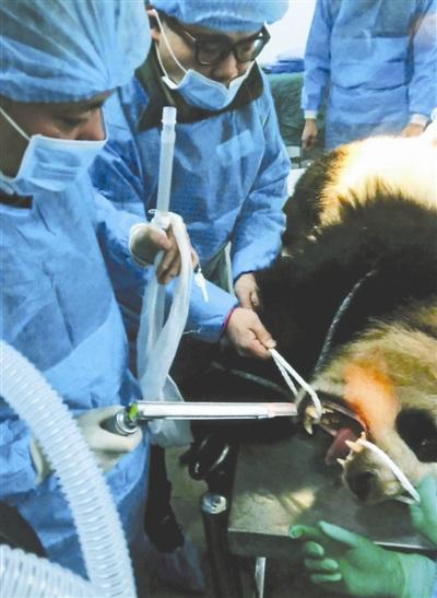 3岁大熊猫吃成肠梗阻外科医生两小时掏出巨大粪块