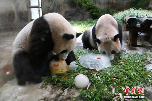 """大熊猫""""成就""""病危术后康复面临三大可能风险"""