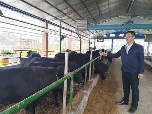 清华博士携93项专利养牛立志打造自己的牛肉品牌