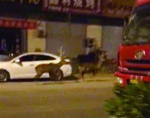 蓝翔两头梅花鹿凌晨窜到马路上回应:早不想养了
