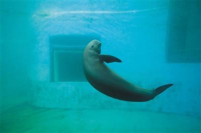 """长江江豚""""升格""""为独立物种濒危程度比大熊猫严重"""