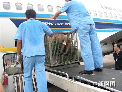 工作人员把熊猫由传送带胜利运上飞机货舱  作 者:朱波