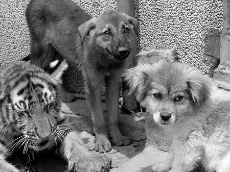 记者在鹤壁动物园虎笼里看到这三个家伙情如