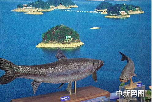 千岛湖最长的鱼首次在杭州展出(图)