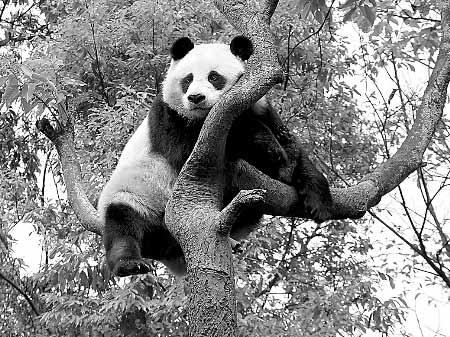 野生熊猫给村民
